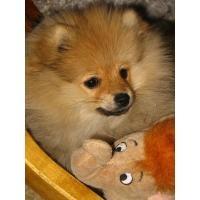 Pomeranian bzw. Zwergspitz