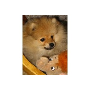Pomeranian bzw. Zwergspitz  Foto